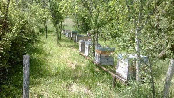 Ruches miel d'acacia
